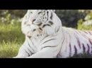 2013 O Predador e a Presa - Tigre Siberiano (Completo e Dublado) NatGeO 2