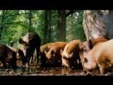 Для детей. Всё о животных - 38 - Дикие свиньи