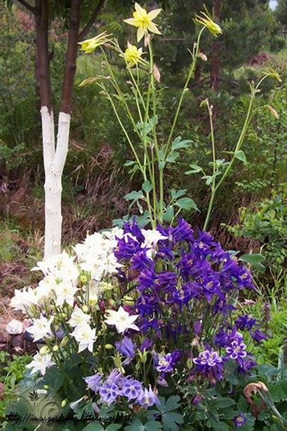 Как сажать и вырастить аквилегию из семян.