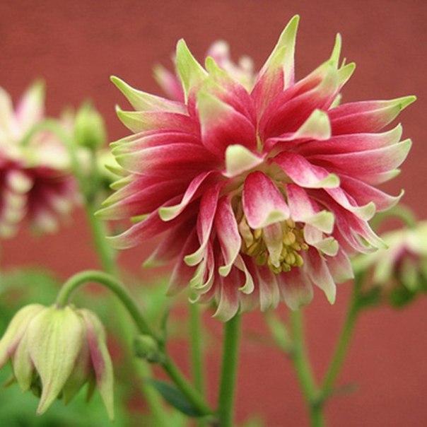 Как сажать и вырастить аквилегию из семян
