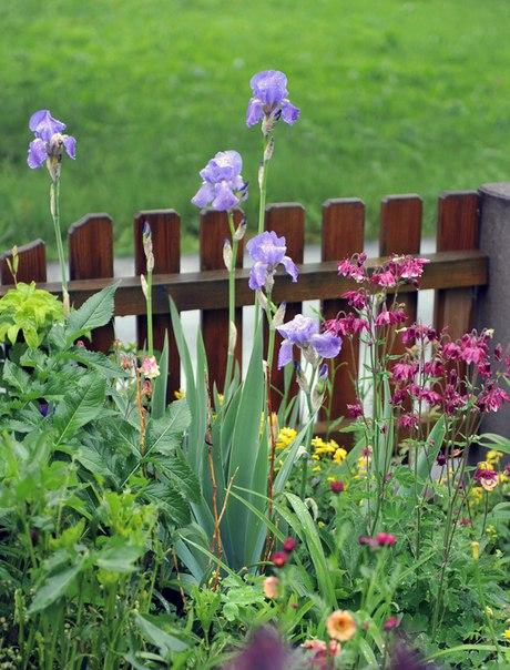 Как сажать и вырастить аквилегию из семян-аквилегия и ирисы