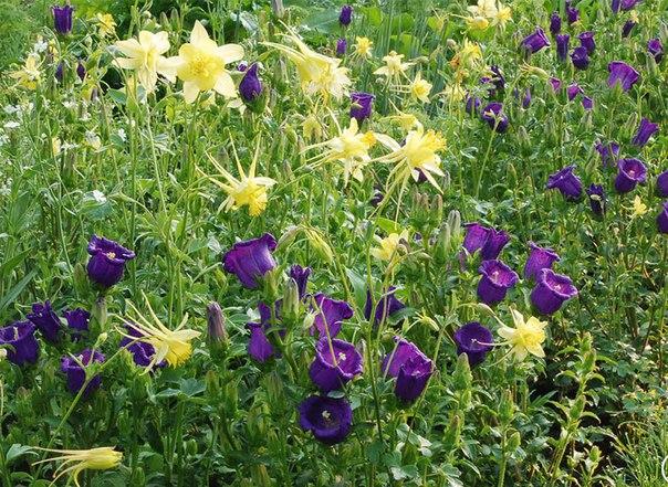 Как сажать и вырастить аквилегию из семян-аквилегия и колокольчик