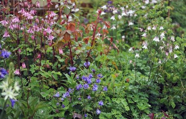 Как сажать и вырастить аквилегию из семян-аквилегия и скоро зацветет роза