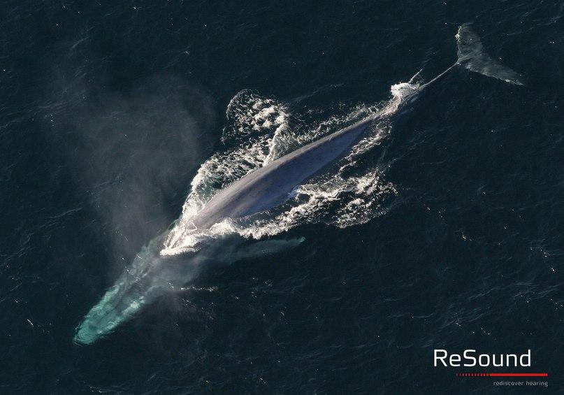 Синий кит – самое крупное и самое громкое млекопитающее планеты