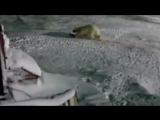 Повар взорвал доверчивую медведицу, остров Врангеля. россия Cook blew trusting bear, Wrangel Island.