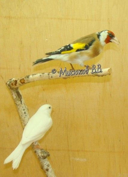 Фотографии моих птиц  - Страница 3 -MTEiecV4HQ