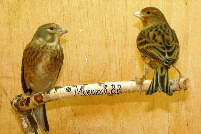 Фотографии моих птиц  - Страница 3 TFS5MOp7G8U