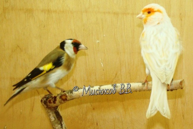 Фотографии моих птиц  - Страница 3 Zd1GM6_-jA0