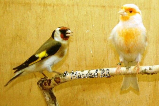 Фотографии моих птиц  - Страница 3 RUuNGb92ji8
