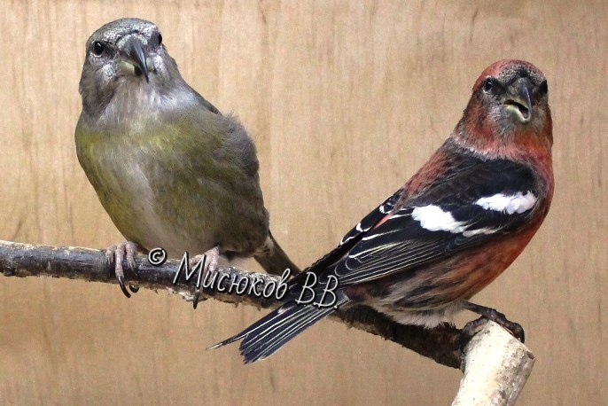 Фотографии моих птиц  - Страница 3 Xu15jxzFujM