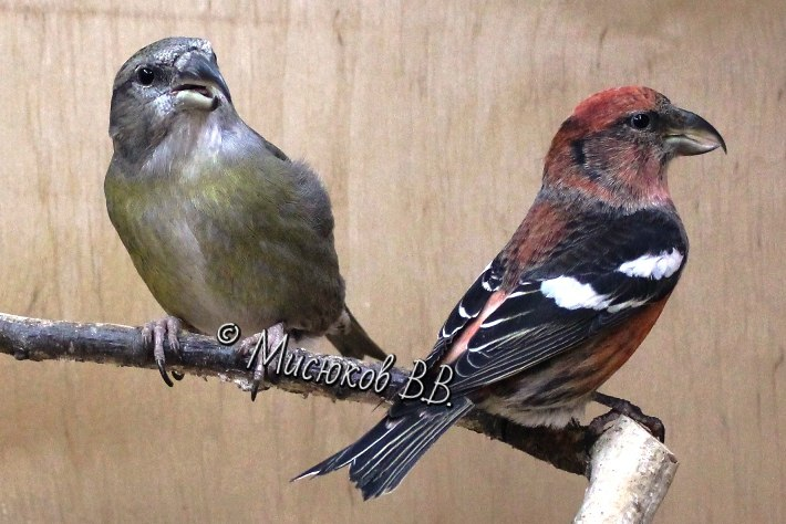 Фотографии моих птиц  - Страница 3 CLi9d6_d5Fw