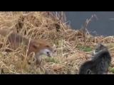 Кот против лисы! Крутая разборка !