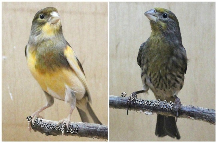 Фотографии моих птиц  - Страница 3 81vbRIf2Yeg
