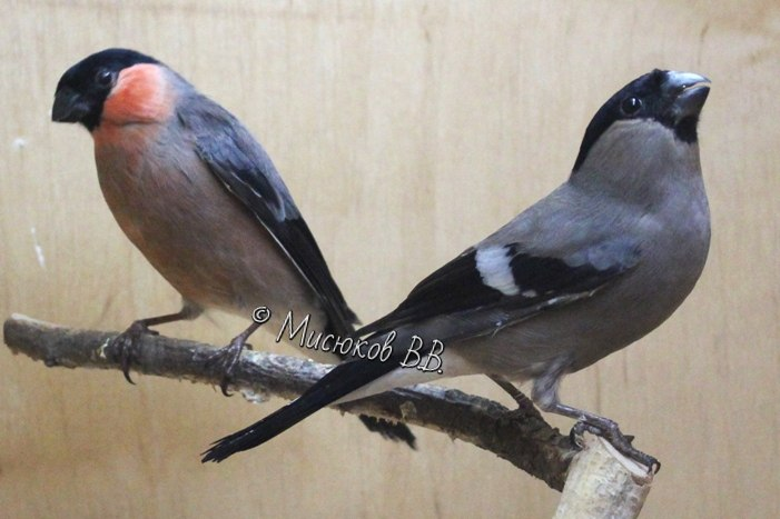 Фотографии моих птиц  - Страница 3 OkGZVS8jHyk