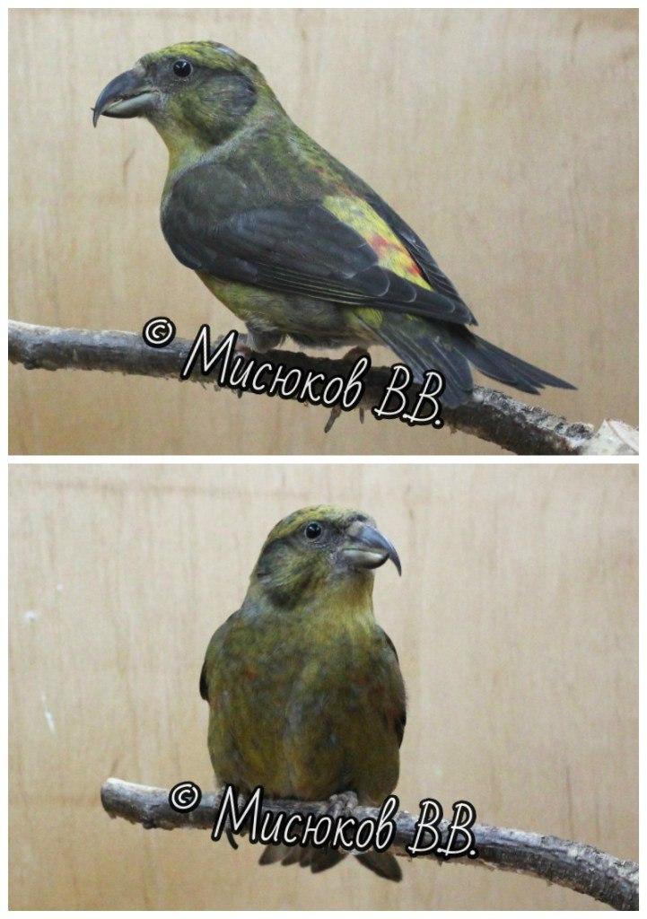 Фотографии моих птиц  - Страница 3 OwzVlExrAHA