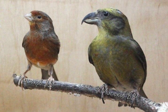 Фотографии моих птиц  - Страница 3 SxV8SXAbHx4