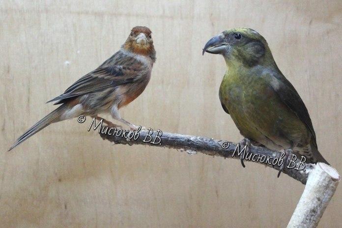 Фотографии моих птиц  - Страница 3 UNTdQ_eM1_o