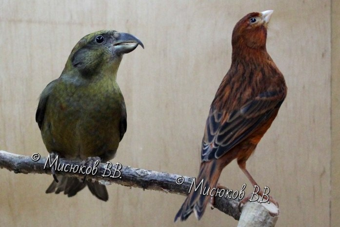 Фотографии моих птиц  - Страница 3 YnFfKfo8Lo0