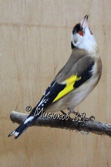 Фотографии моих птиц  - Страница 3 KGx4Cb4lsow