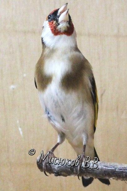Фотографии моих птиц  - Страница 3 Jlwpx6AX0Q8