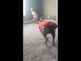 Пес повторяет за маленькой хозяйкой акробатические трюки
