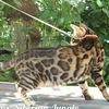 Бенгальские кошки Siberian Jungle.