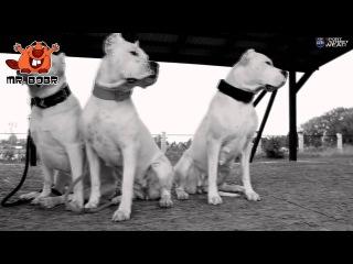 PitBull Питбуль фан клип
