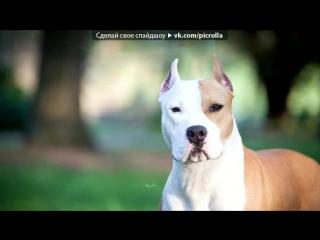 «Со стены СОБАКИ - ПИТБУЛЬ | АМСТАФФ | БУЛЬТЕРЬЕР» под музыку Максти - Не называй его псом. Picrolla