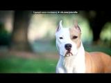 «Со стены СОБАКИ - ПИТБУЛЬ   АМСТАФФ   БУЛЬТЕРЬЕР» под музыку Максти - Не называй его псом. Picrolla