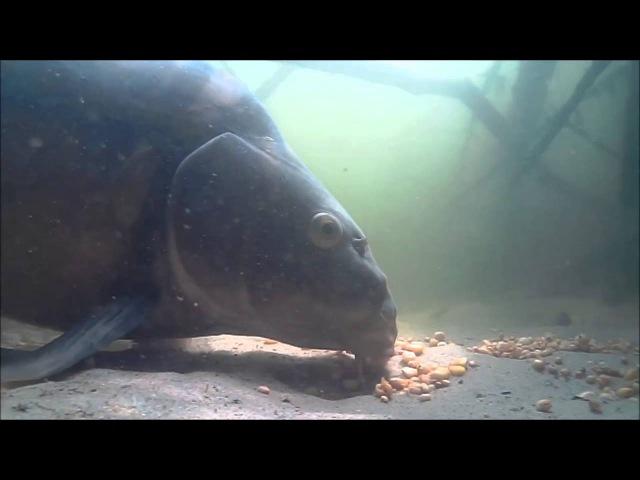 Karpfen im Fressrausch Unterwasseraufnahme