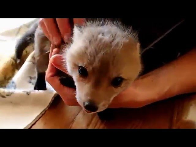 Second Chance For A Baby Fox part 2