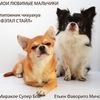 ПРЕДЛАГАЮТСЯ щенки чихуа и других пород в СПб.