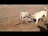 2 Kangal  Kurdu parçalıyor