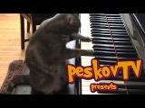 Смешные кошки #9. Кот играет на пианино.