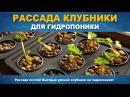 РАССАДА КЛУБНИКИ ДЛЯ ГИДРОПОНИКИ - Как высадить клубнику в гидропонику