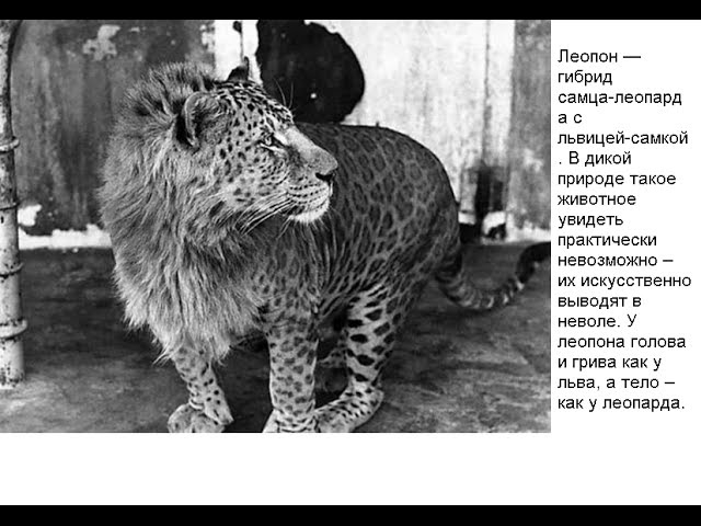 Самые удивительные животные-гибриды ( 10 животных)