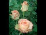 Видео каталог сортов  роз Эквадор