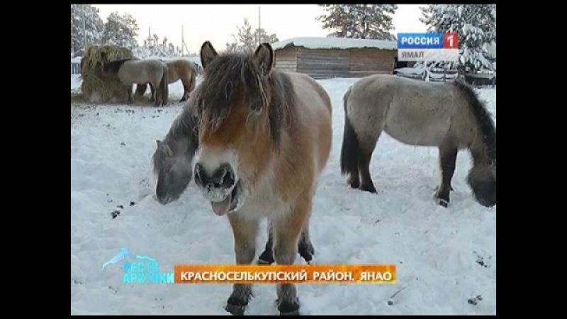 Морозоустойчивые и по-милому мохноногие. Якутские лошади приживаются на Ямале