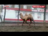 В Уфе из зоопарка «Барс» сбежали из клеток верблюд и взрослый бурый медведь.