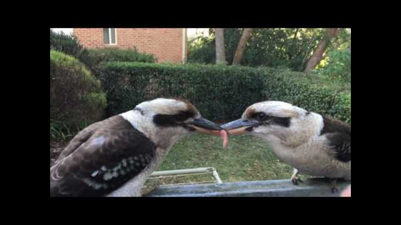 Kookaburra tug of war - failed breakup attempt
