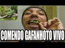 Bluezao Comendo Gafanhoto Vivo