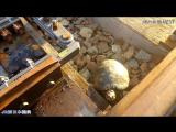 Забота о черепахах в Японии.