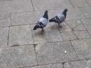 Голуби идут под Billie Jean Birds dance Billie Jean