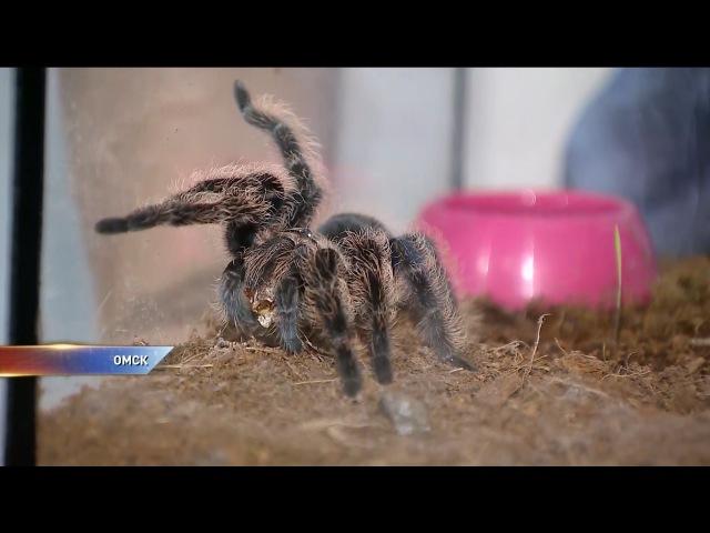 Домашние членистоногие. Омичи предпочитают пауков и тарантулов кошкам и собакам