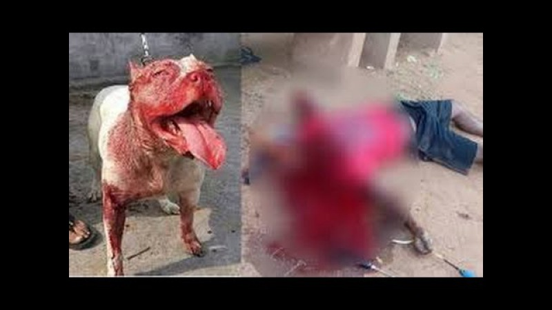 Dog Attack Pitbull Buldog Kangal Alabai attack