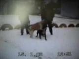 Собачьи бои американский бульдог Пилат vs САО алабай конец