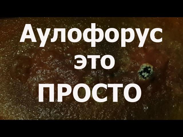 Dero furcata, где взять корм для рыб Аулофорус разведение, как вырастить самому аулофорус,