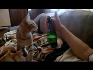 Кот открыл бутылку пива