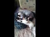 как кошка с собакой VITA'S FAVORIT Gaitana &amp кот
