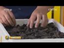 Ба Чжэнь, или Восьмое Сокровище Китая, или морской огурец Хайшэнь, либо Трепанг - ловля деликатесов в городе Вэйхай.